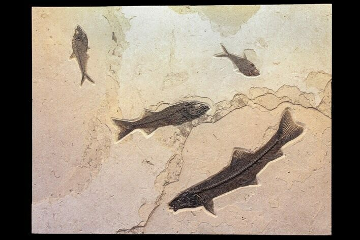 "42"" Wide Green River Fossil Fish ""Mural"" - Authentic Fossils"