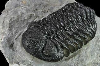 "Buy 2.1"" Detailed Morocops Trilobite - Ofaten, Morocco - #132256"