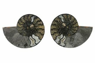 6.1 Split Black/Orange Ammonite Pair - Unusual Coloration For Sale, #132236