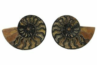 "Buy 6"" Split Black/Orange Ammonite Pair - Unusual Coloration - #132247"