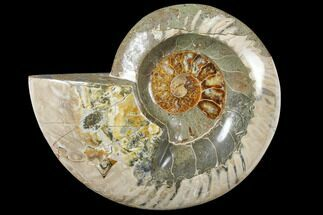 "Buy 6.1"" Wide Polished Fossil Ammonite ""Dish"" - Inlaid Ammonite - #133249"
