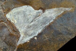 "Buy 1.5"" Fossil Ginkgo Leaf From North Dakota - Paleocene - #133138"