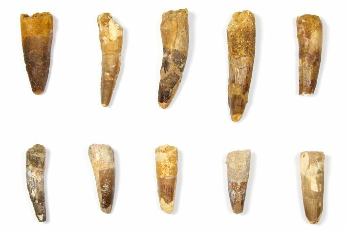 "Wholesale Lot: 1.6 to 2.6"" Bargain Spinosaurus Teeth - 10 Pieces"