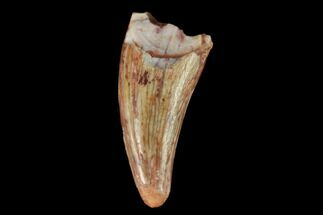 "Buy .61"" Fossil Phytosaur Tooth - New Mexico - #133336"