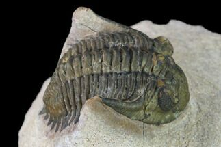 "Bargain, 1.2"" Metacanthina Trilobite - Lghaft, Morocco For Sale, #133967"