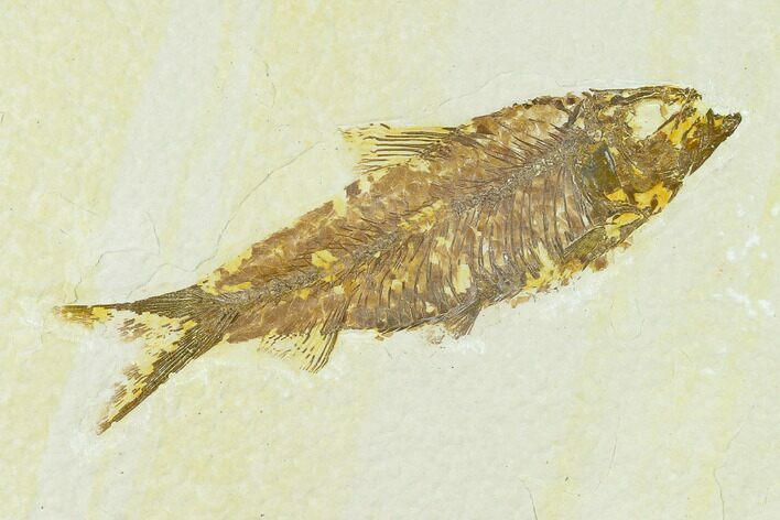 "3.9"" Fossil Fish (Knightia) - Green River Formation"