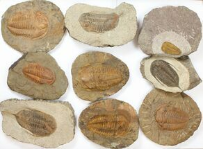"Wholesale Lot: 1.5 to 4"" Ordovician/Cambrian Trilobites - 8 Pieces For Sale, #134102"