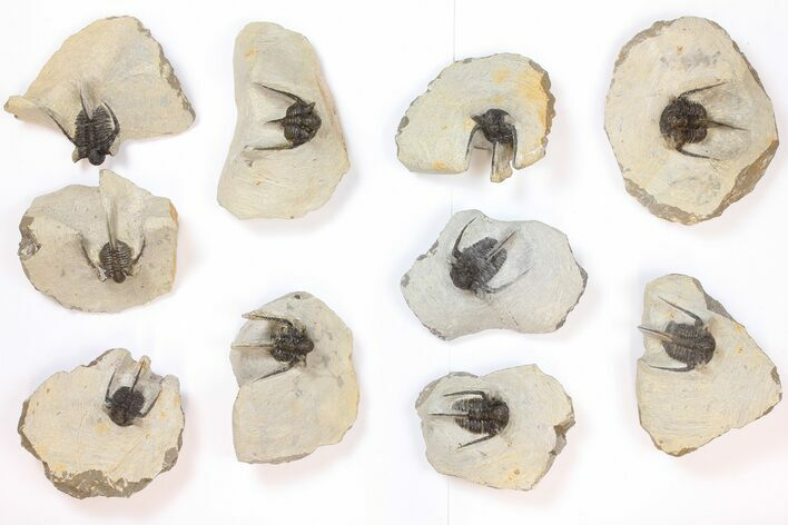 Wholesale Lot: Spiny Cyphaspis Trilobites - 10 Pieces