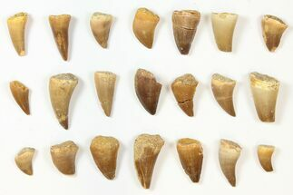 Buy Wholesale Lot: Assorted Fossil Mosasaur Teeth - 1000 Pieces - #134128
