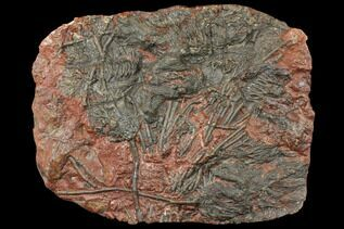 Crinoids For Sale