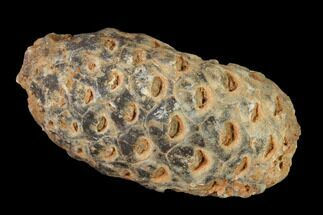 "1.25"" Agatized Seed Cone (Or Aggregate Fruit) - Morocco For Sale, #135374"