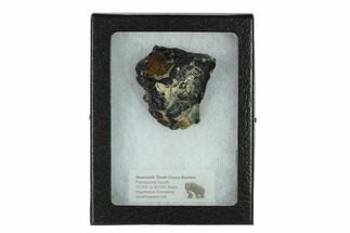 Mammuthus columbi - Fossils For Sale - #135315