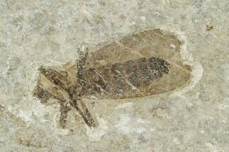 ".59"" Fossil March Fly (Plecia) - Green River Formation For Sale, #135893"