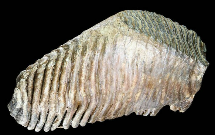 "12.4"" Woolly Mammoth Molar From Poland - Collector Quality!"