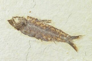 "3.1"" Fossil Fish (Knightia) - Green River Formation - Wyoming For Sale, #136529"
