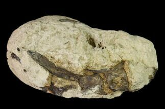 "1.6"" Cretaceous Fish Coprolite (Fossil Poop) with Bones - Kansas For Sale, #136484"