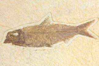 "Buy 3.9"" Fossil Fish (Knightia) - Wyoming - #136777"