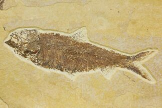 "Buy 5.6"" Detailed Fossil Fish (Knightia) - Wyoming - #136810"