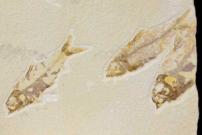 Trio of Bargain Fossil Fish (Knightia) - Green River Formation