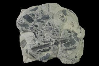 "4.6"" Pennsylvanian Fossil Flora Plate - Kentucky For Sale, #136790"