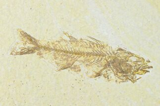 Mioplosus labracoides - Fossils For Sale - #136869
