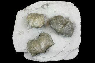 Buy Pyrite Replaced Brachiopod (Paraspirifer) Fossils on Shale - Ohio - #136660