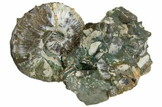 Fossil Ammonites (Hoploscaphites & Sphenodiscus) - South Dakota For Sale, #137273