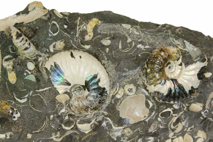 "1.15"" Fossil Ammonite (Scaphites) - South Dakota"