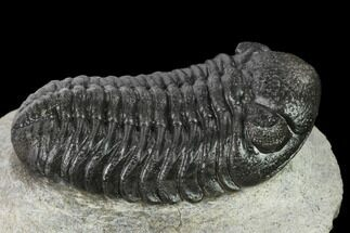 "2.1"" Detailed Morocops Trilobite - Ofaten, Morocco For Sale, #137543"