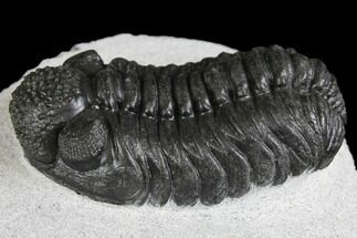 "Buy 2.45"" Adrisiops Weugi Trilobite - Recently Described Phacopid - #137710"