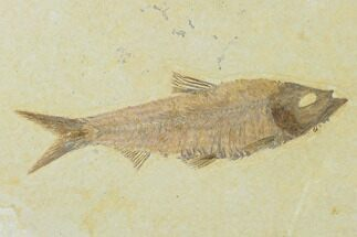 "Buy 4.3"" Detailed Fossil Fish (Knightia) - Wyoming - #137968"