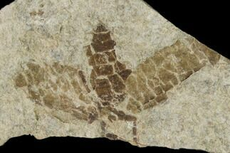 "Buy .7"" Fossil March Fly (Plecia) - Green River Formation - #138478"