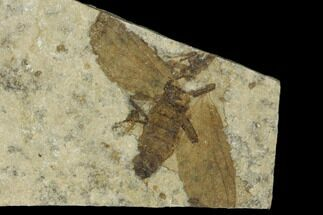 ".7"" Fossil March Fly (Plecia) - Green River Formation For Sale, #138479"