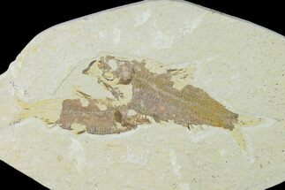 Knightia eocaena - Fossils For Sale - #138615
