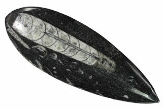 "Buy 5"" Polished Fossil Orthoceras (Cephalopod) - Morocco - #138295"
