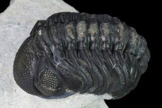 "Buy 2.1"" Austerops Trilobite - Nice Eye Facets - #138958"