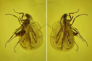 Buy Fossil Fly (Diptera) In Baltic Amber - #139021