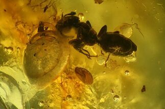 Three Detailed Fossil Ants (Formicidae) In Baltic Amber For Sale, #139043