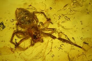 Detailed Fossil Spider and Springtail in Baltic Amber For Sale, #139049