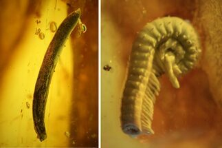 Buy Detailed Fossil Millipede (Diplopoda) and Leaf in Baltic Amber - #139060