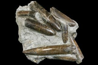 Belemnites paxillosus - Fossils For Sale - #139011