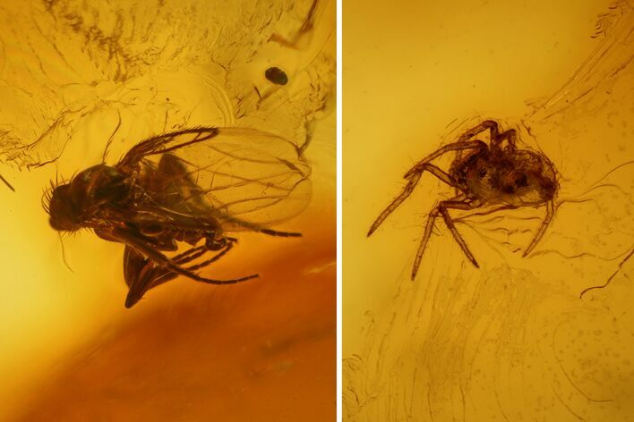 Fossil Fly (Diptera) and a Spider (Araneae) In Baltic Amber