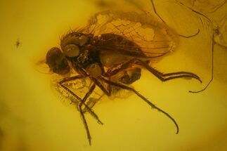 Buy Two Fossil Flies (Diptera) In Baltic Amber - #139069