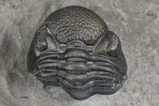 "Buy .41"" Eldredgeops Trilobite Fossil - New York - #138811"