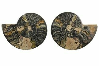 "4.9"" Cut/Polished Ammonite Fossil (Pair) - Unusual Black Color For Sale, #132593"