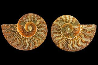 "Buy 4.15"" Agatized Ammonite Fossil (Pair) - Crystal Lined Chambers - #139735"