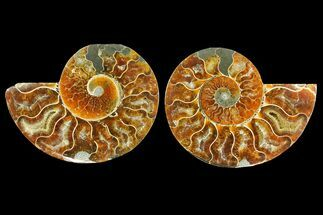 Cleoniceras - Fossils For Sale - #139743