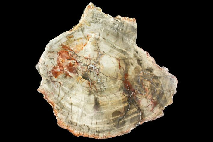 "10"" Colorful Petrified Wood (Araucaria) Round - Madagascar"