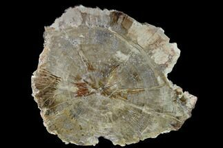 "12.1"" Detailed Petrified Wood (Araucaria) Round - Madagascar  For Sale, #140336"