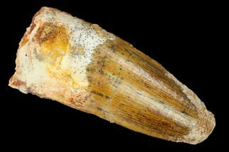 "1.5"" Spinosaurus Tooth - Real Dinosaur Tooth For Sale, #140738"